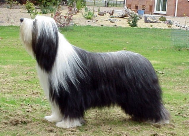 Bearded Collie Puppies For Sale 2jpg | Dog Breeds Picture