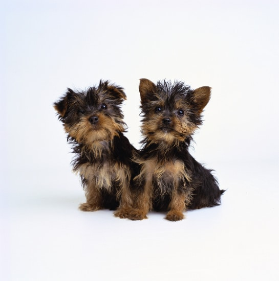 Japanese Chin Yorkshire Terrier Mix http://m5x.eu/japanese-chin-yorkshire-terrier-jarkie/